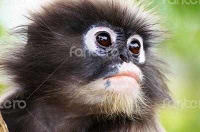 Close up face of Dusky leaf monkey