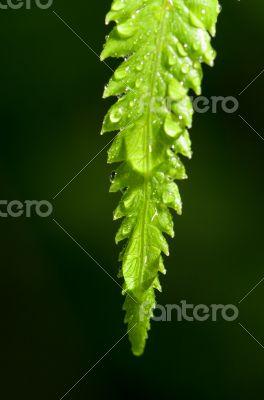 Rain drops on fern leaf