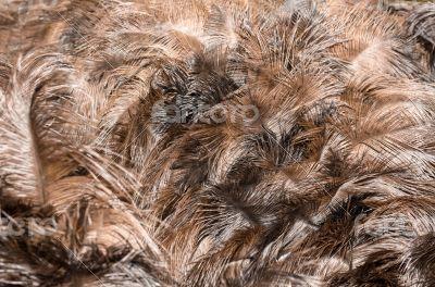 Feathers of turkey