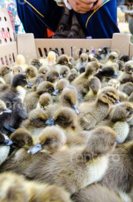 Seller and many ducklings for sale