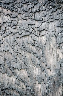 Surface bark of trees damaged by fire