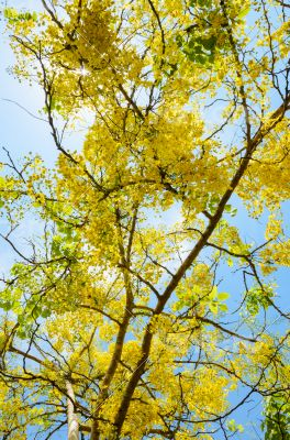 Yellow flowers on tree of Purging Cassia or Ratchaphruek