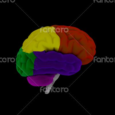 brain-cerebrum - human brain in side view