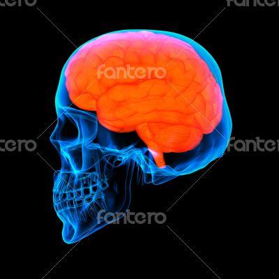 Human red brain X ray