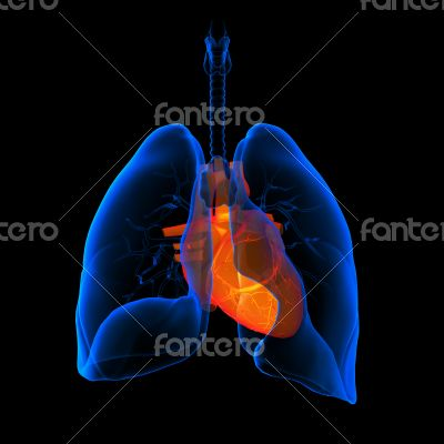 lungs with visible heart