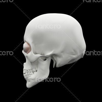 3d render human Skull