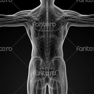 Male anatomy
