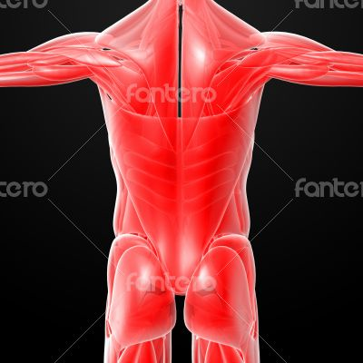 male muscles