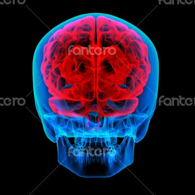 Human brain X ray - back view