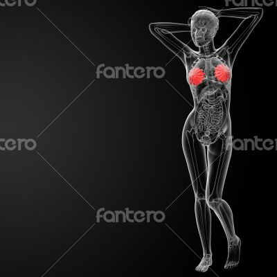 3d render female breast anatomy x-ray