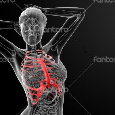 ribcage bone