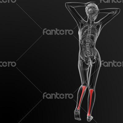 tibia bone