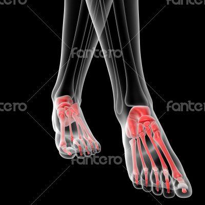 foot bone