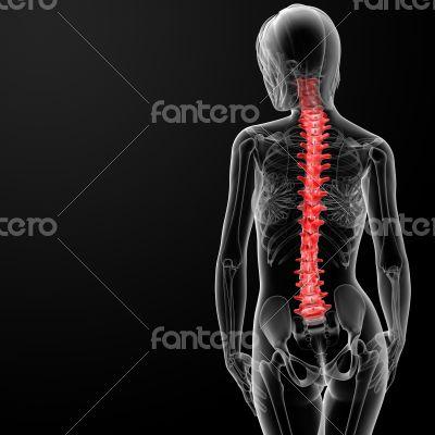 spine bone