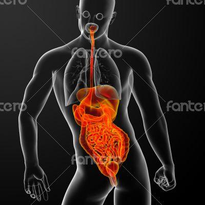 human digestive system