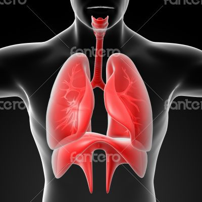 Human digestive system liver red colored