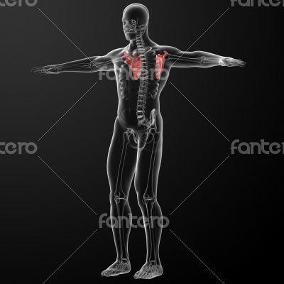 3d render illustration scapula bone