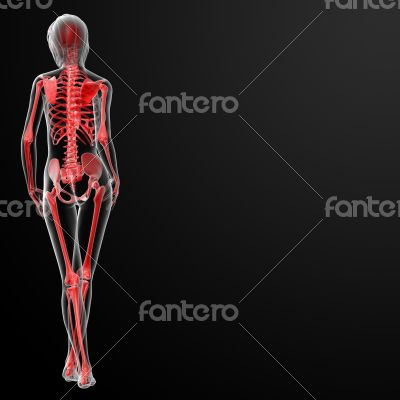 3d render of the female skeleton
