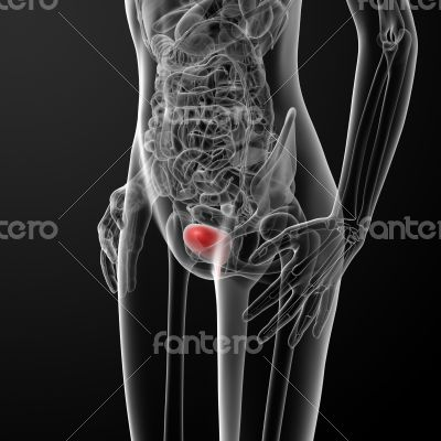 3d render female bladder anatomy x-ray