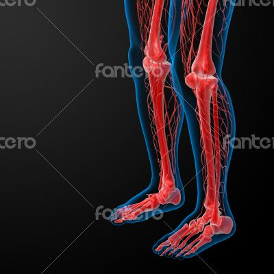 3d render lymphatic system visible leg