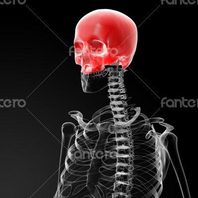 Human Skull. Upper half.