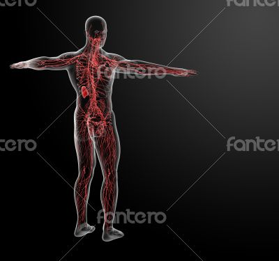 lymphatic system - back view