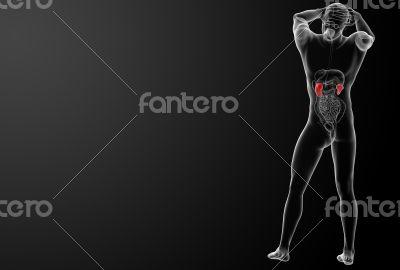 3d rendered illustration of kidneys - back view