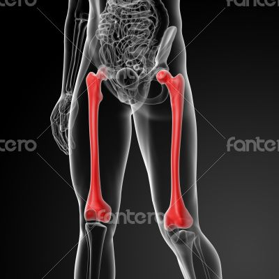 The femur - front view