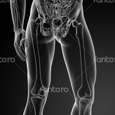 3d render illustration of the femur