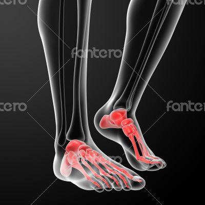 Human Skeletal  Feet - front view