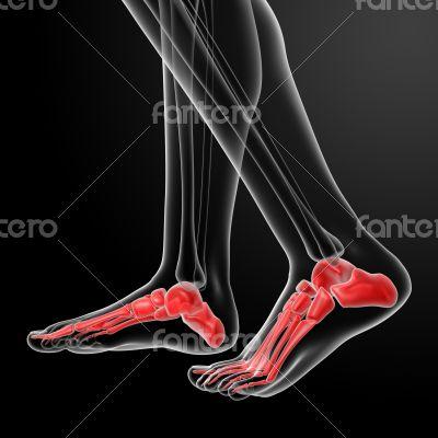 Human Skeletal  Feet - side view