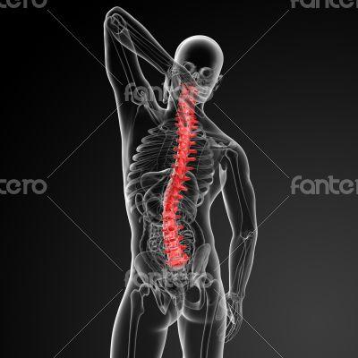3d rencder Human Spine Anatomy