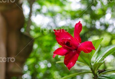 Desert Rose, Impala Lily, Mock Azalea pink flower