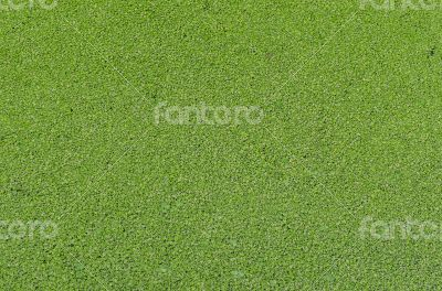 Duckweed covered green nature background