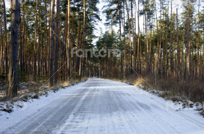 Winter country road with fir forest on the side (overcast day).