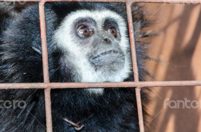 Face and eyes downcast of gibbon in a cage