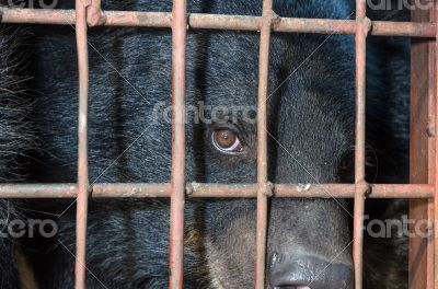 Asiatic black bear are in cage