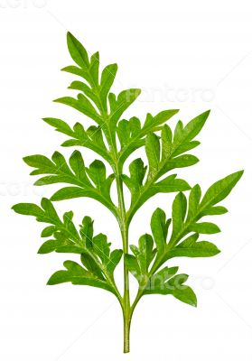 Green foliage of the Cosmos