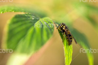 Bee sits on the leaves.