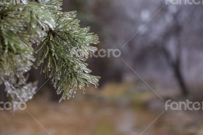 Pine covered by ice.
