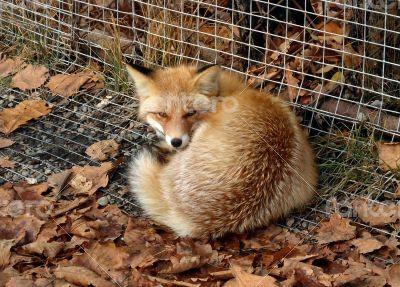 Fox in Zoo