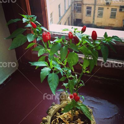 Red Pepper on the Window Sill