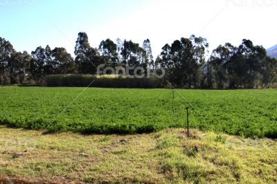 Alfalfa or Lucerne Field Under Irrigation