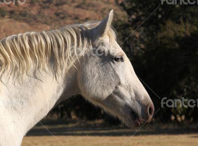 Head Shot of Large White Horse Head