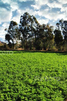 Alfalfa or Lucerne Field Under Irrigation