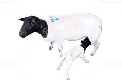 Isolated Sheep with Nursing Lamb