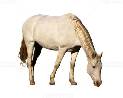 Isolated Picture of Large Horse Grazing