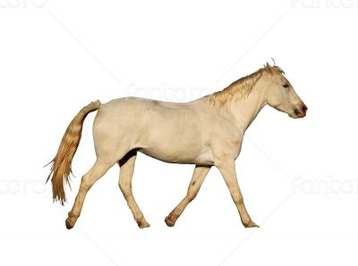 Portrait Isolated Picture of Large Horse Galloping