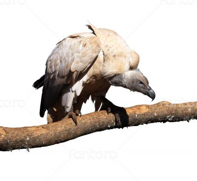 Portrait Isolated Picture of Large Vulture on Branch