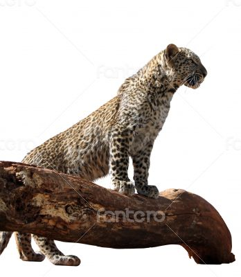 Portrait Isolated Picture of Young Leopard on Branch